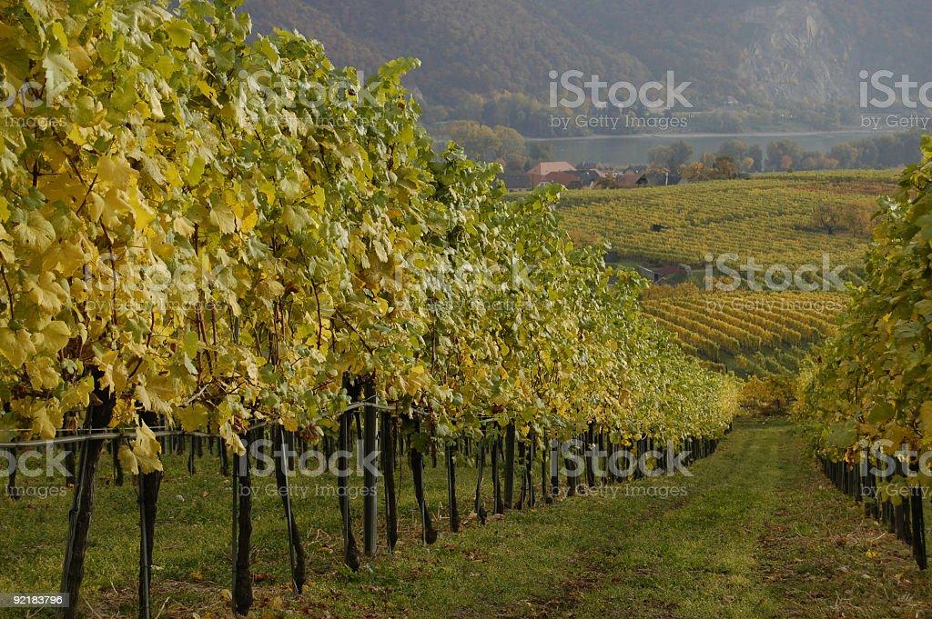 Path Through The Grapevine royalty-free stock photo