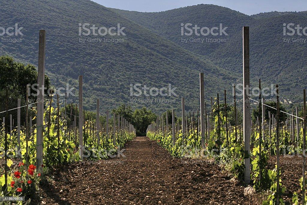 path through the new vineyard royalty-free stock photo