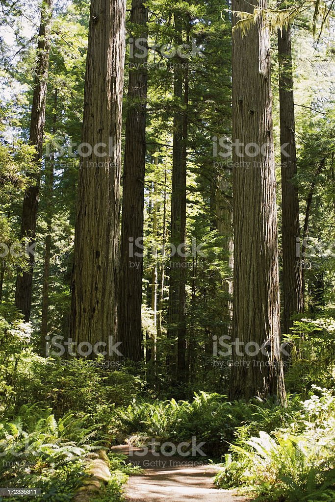 Path Through the Redwoods stock photo