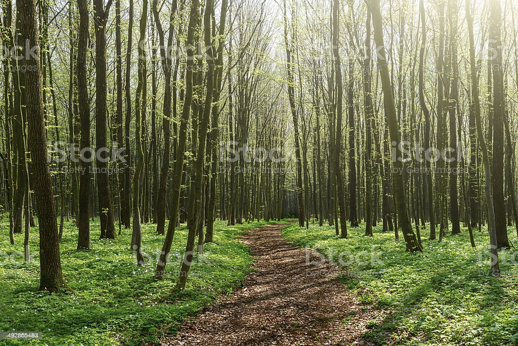 Chemin à travers la forêt de printemps ensoleillé photo libre de droits