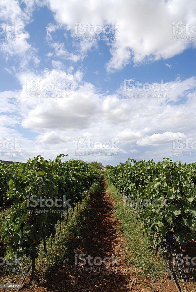 path through the vineyard and beatiful sky stock photo