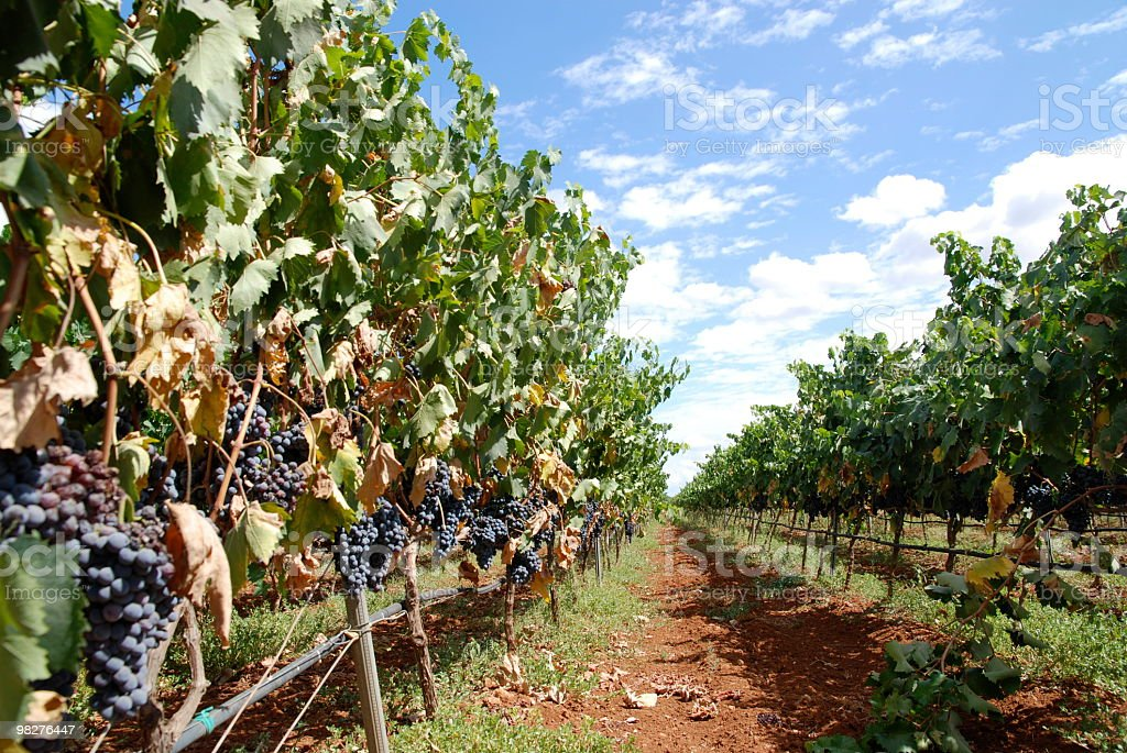 path through the vineyard royalty-free stock photo