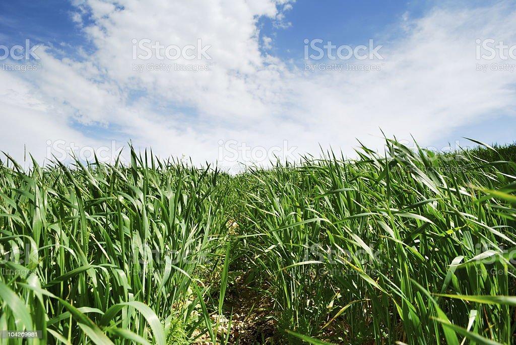 Path through wheat royalty-free stock photo