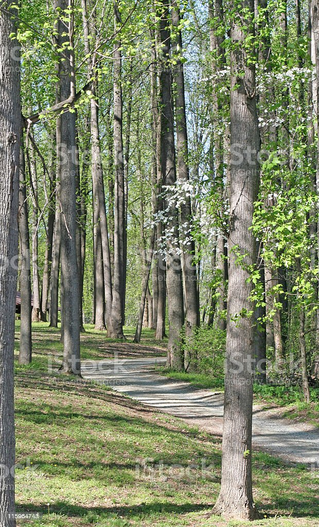 Path Thru a Tall Woods stock photo