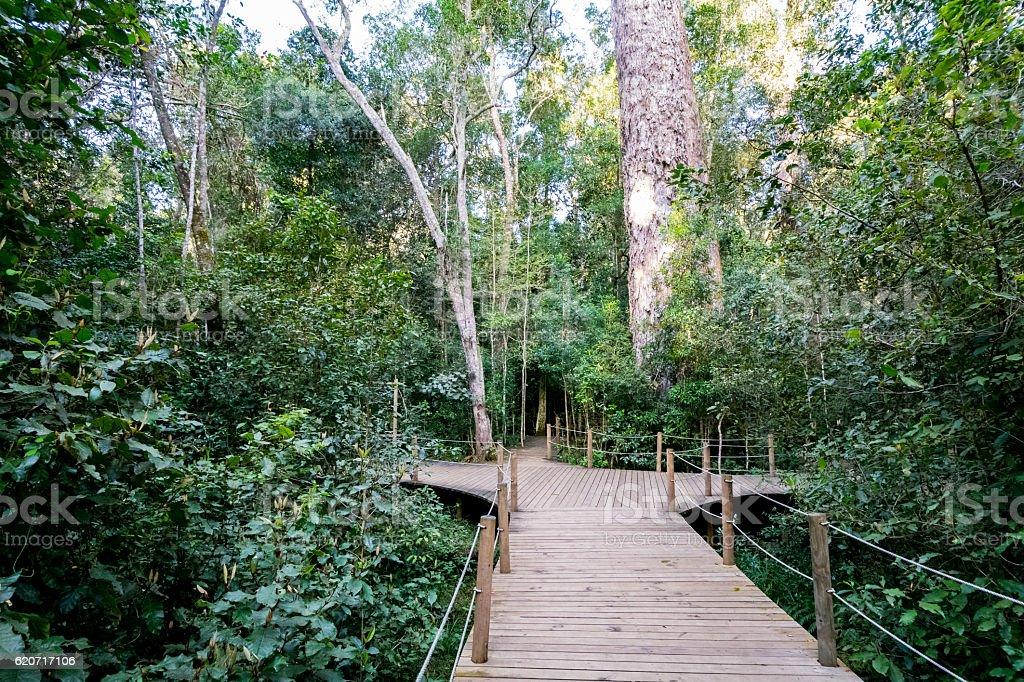 Path to the giant Yellowwood tree in Tsitsikamma, South Africa stock photo