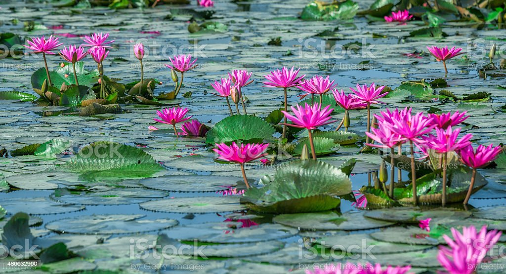 Path waterlily stock photo