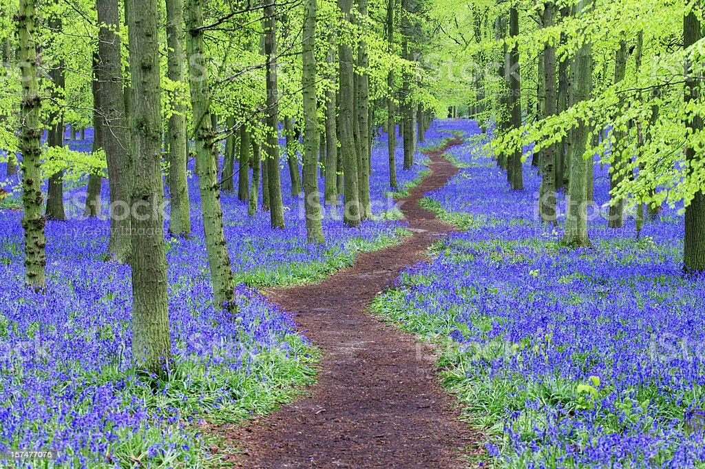 Path winding through a Bluebell wood stock photo