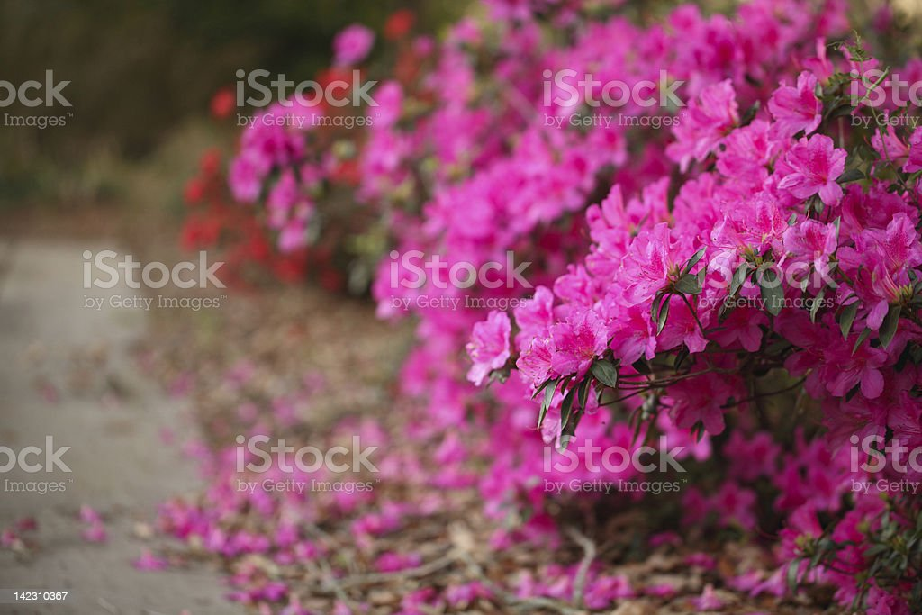 Path with Blooming Azaleas stock photo