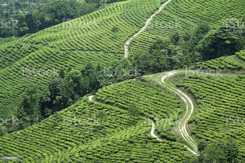 Paths in Tea Garden royalty-free stock photo