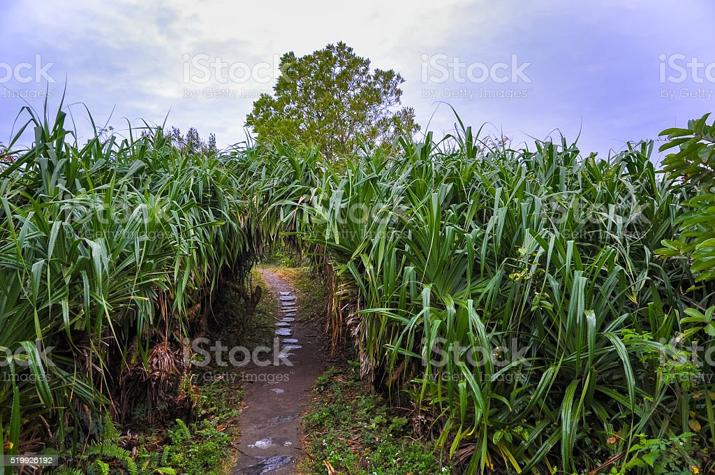 Pathway among high barbed grass on the island stock photo