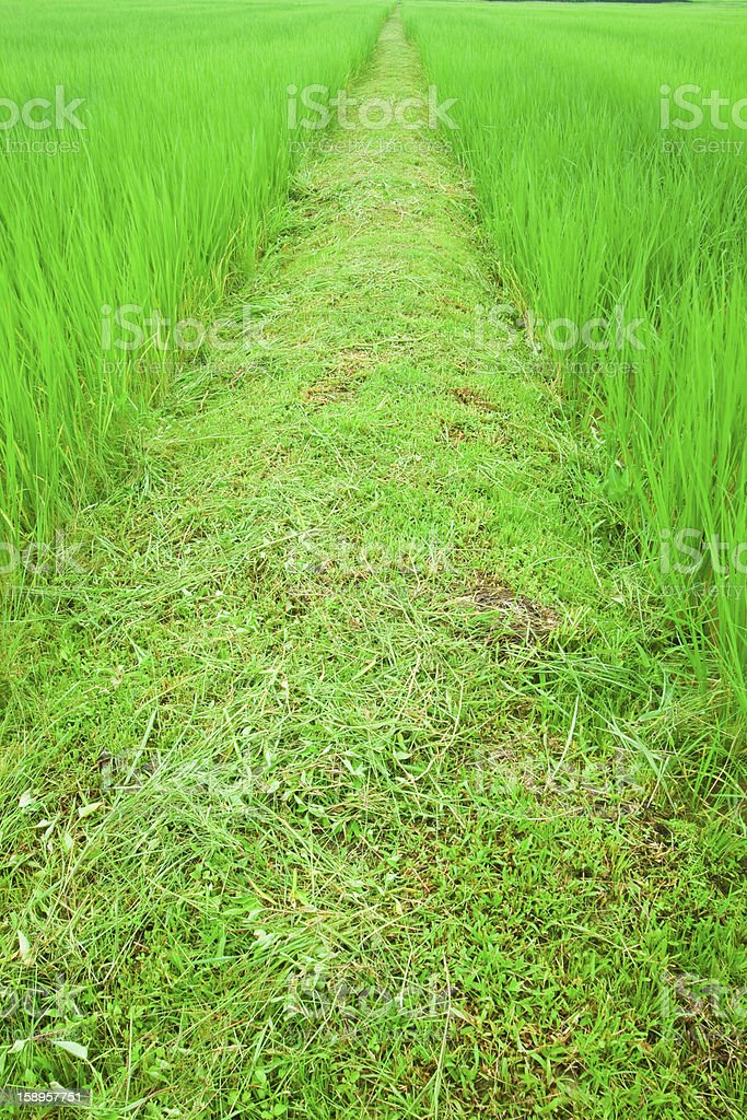 Pathway among rice field. royalty-free stock photo
