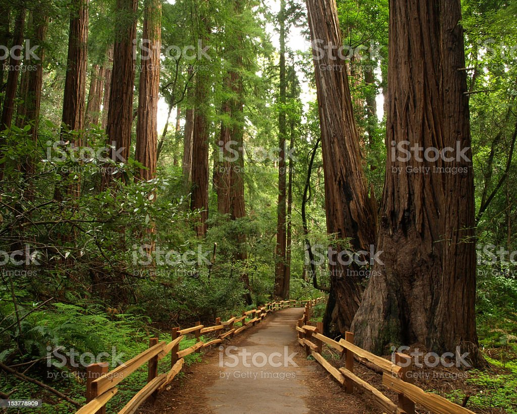 A pathway going right through Muir Woods  stock photo