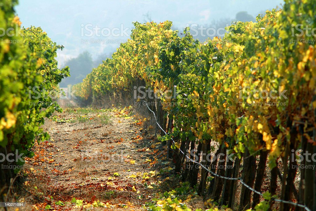 Pathway going through the vineyard royalty-free stock photo