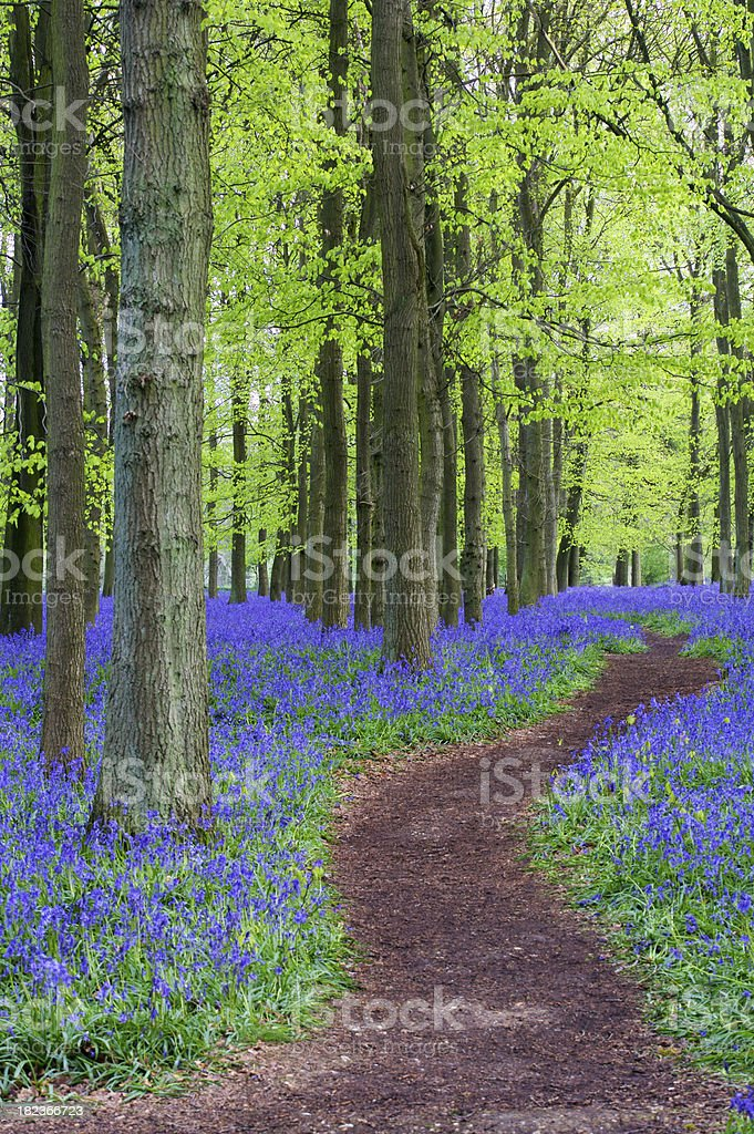 pathway through beeches and bluebells royalty-free stock photo