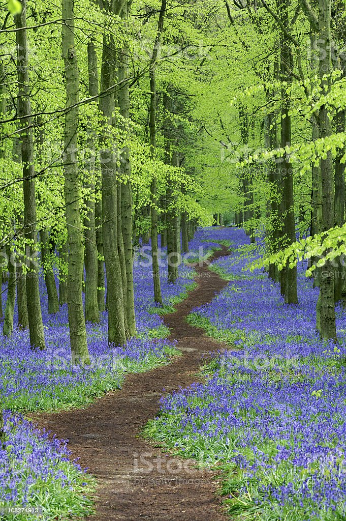 pathway through Bluebell wood royalty-free stock photo
