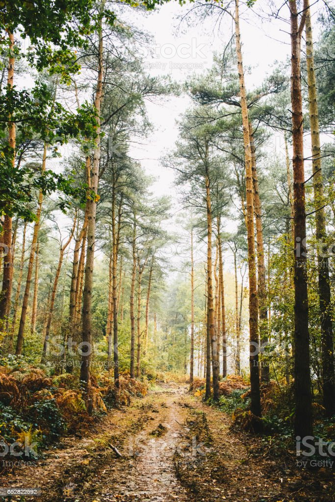 Pathway through tall autumnal trees in a forest stock photo
