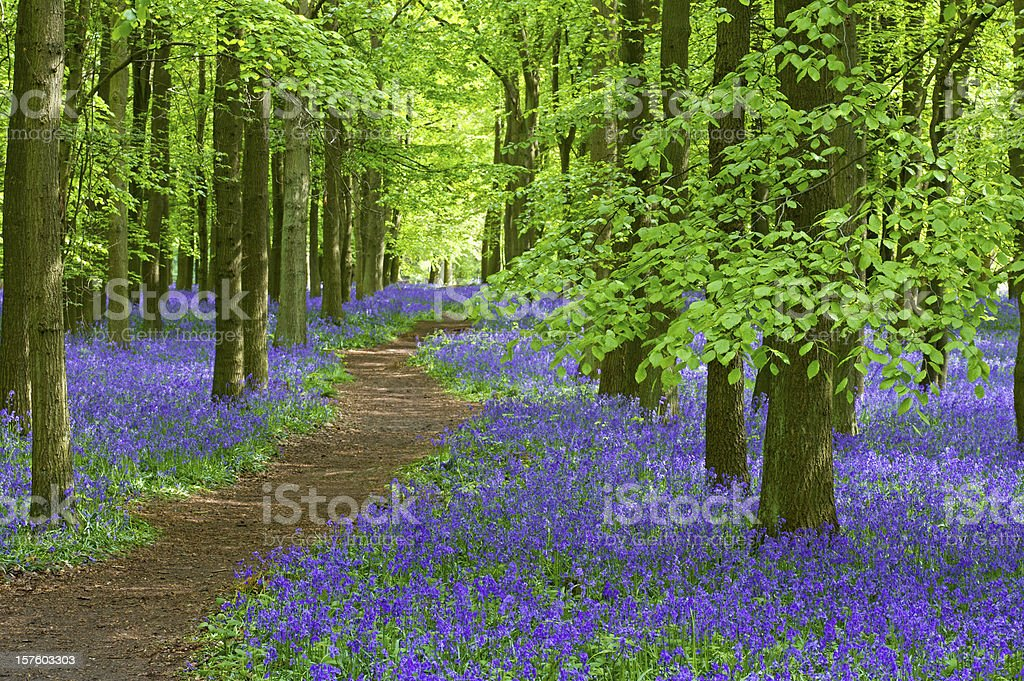 pathway through the bluebells royalty-free stock photo