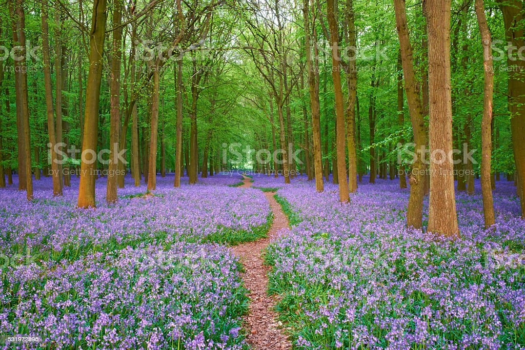 Pathway Through The Bluebells stock photo