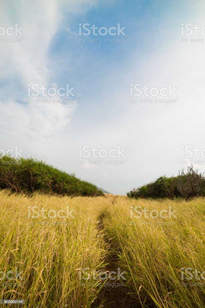 Pathway through the tall grass stock photo