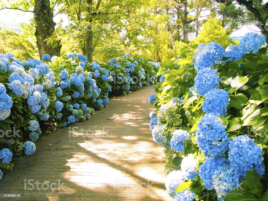 Pathway With Hydrangeas. stock photo