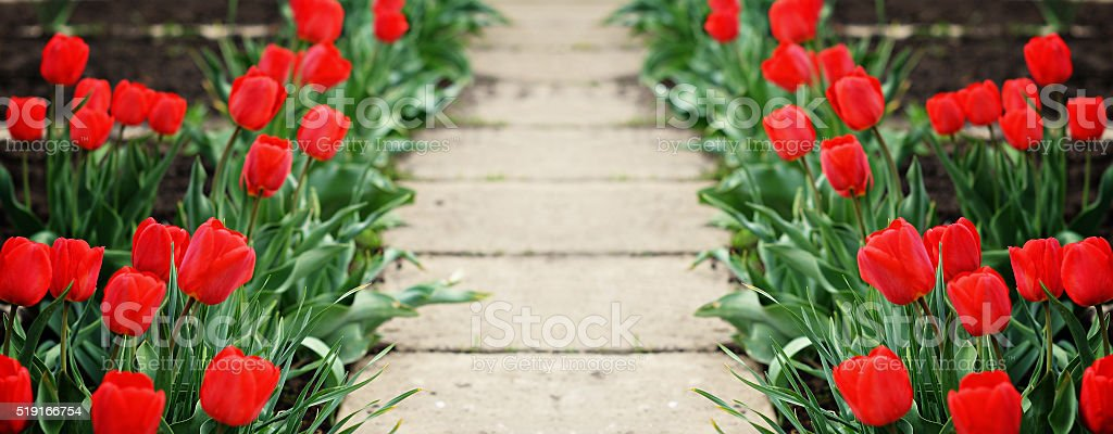 Pathway with tulip flowers stock photo