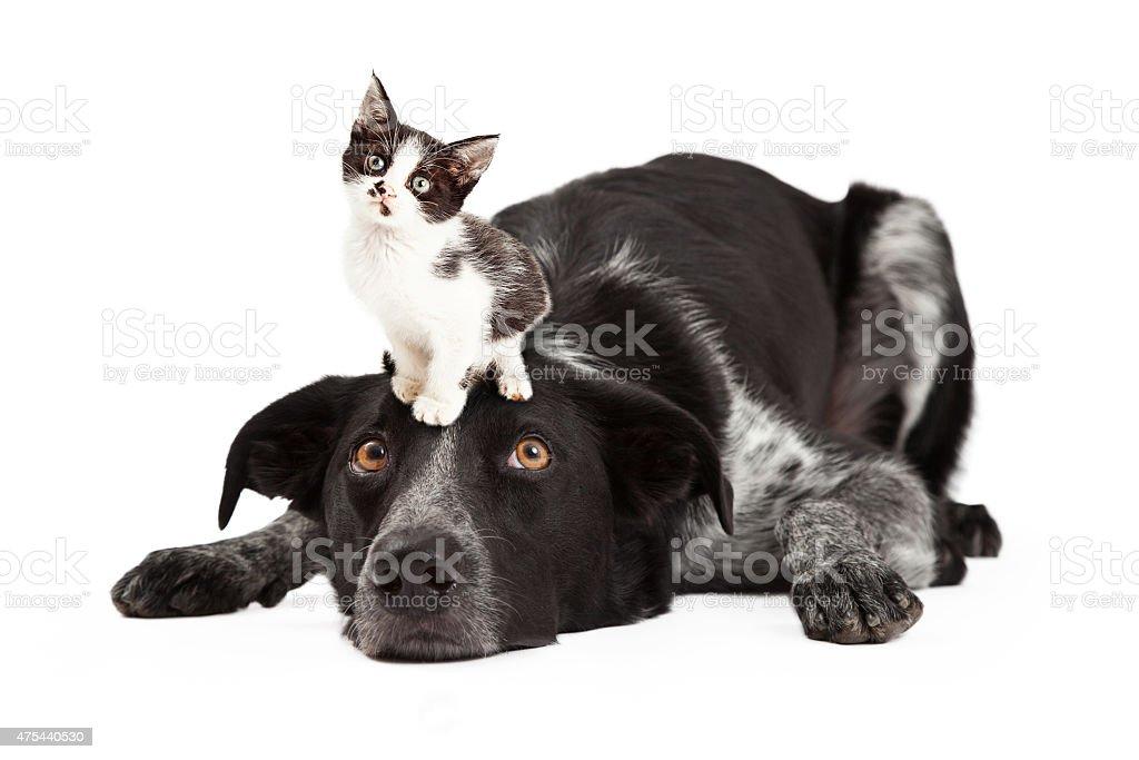 Patient Border Collie With Little Kitten on Head stock photo