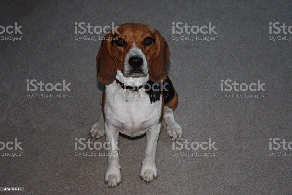 patient dog stock photo