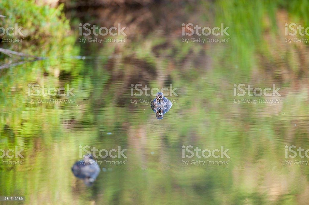 Pato silvestre stock photo