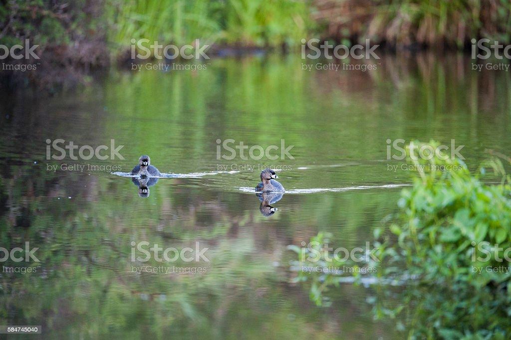 Patos silvestres nadando stock photo