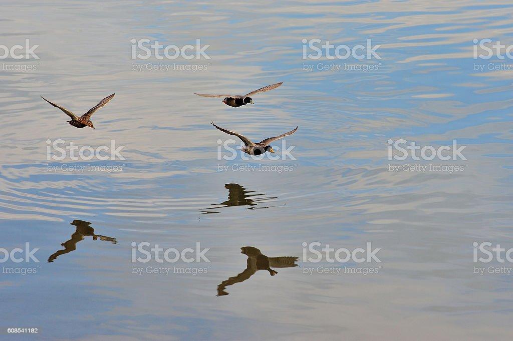 patos volando sobre ría royalty-free stock photo
