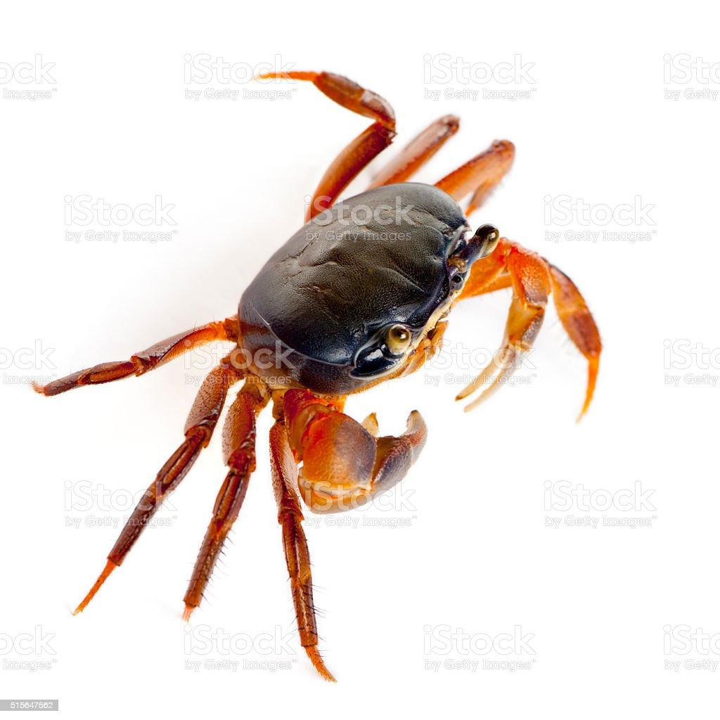 Patriot crab, Cardisoma armatum, in front of white background stock photo