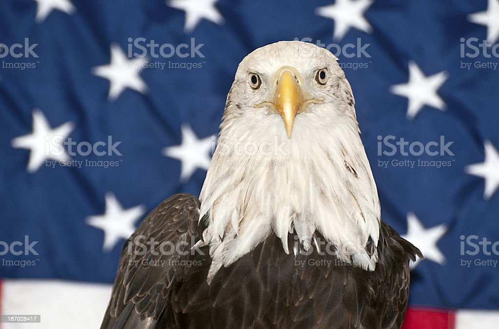 Patriotic:  Bald Eagle in front of American Flag stock photo