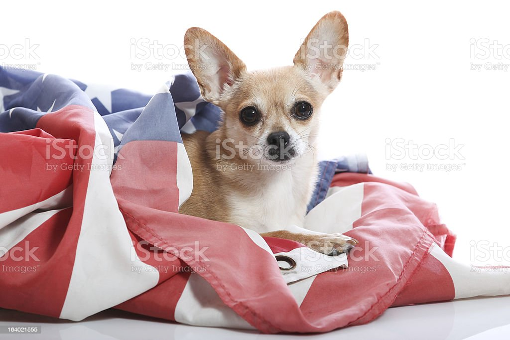 patriotic chihuahua royalty-free stock photo
