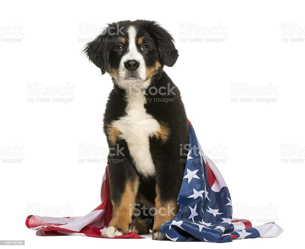 Patriotic dog sitting with american flag stock photo