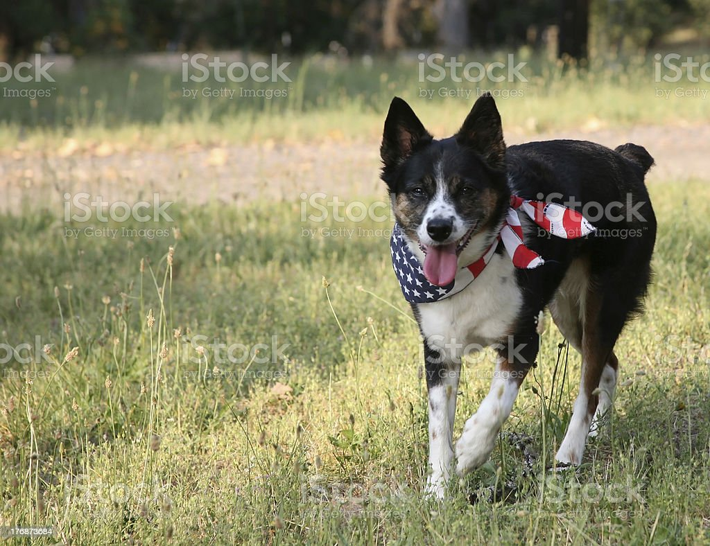 Patriotic Dog with USA Flag Bandanna stock photo