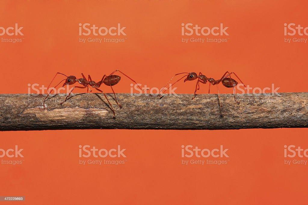 Patrol ants stock photo
