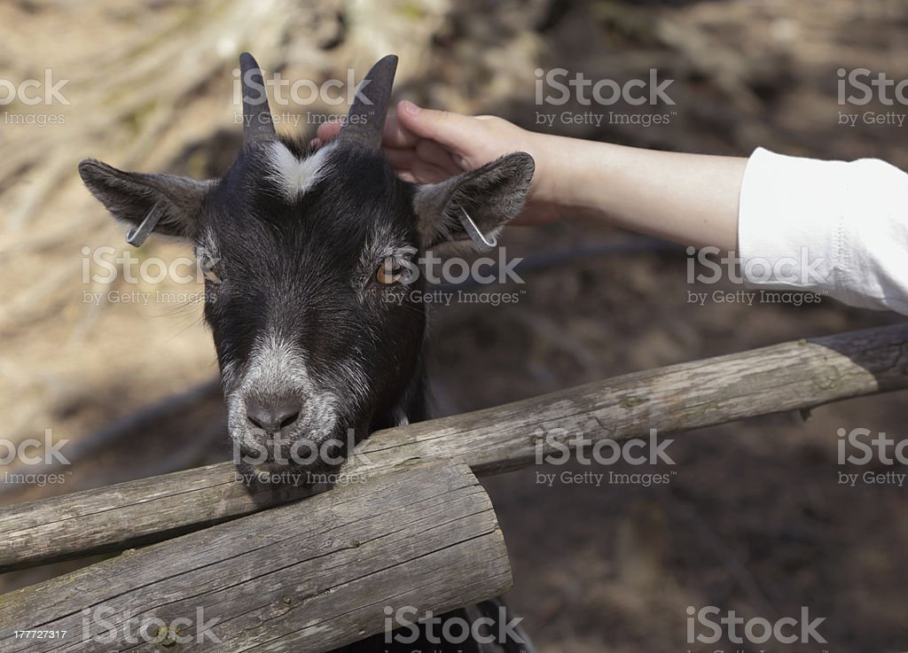 Pats goat royalty-free stock photo