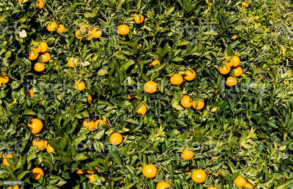 pattern background of orange tree stock photo