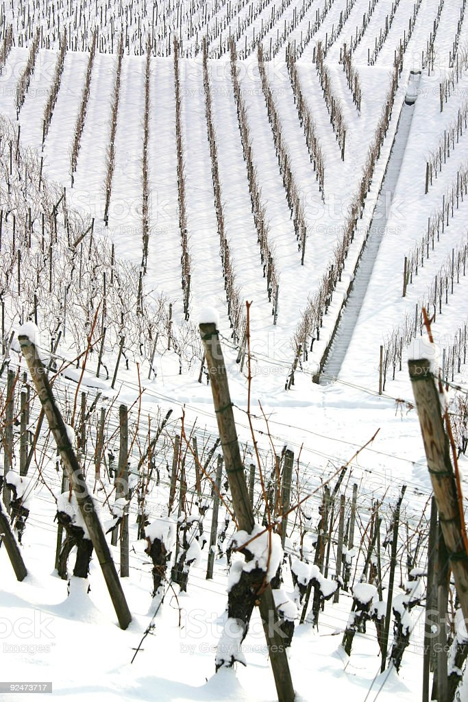 Pattern in snow covered vineyards royalty-free stock photo