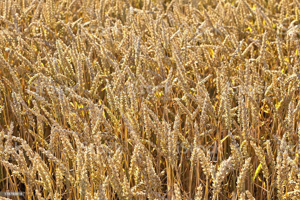 pattern of golden field royalty-free stock photo