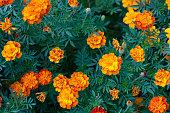 Pattern of orange flowers tagetes between green leaves