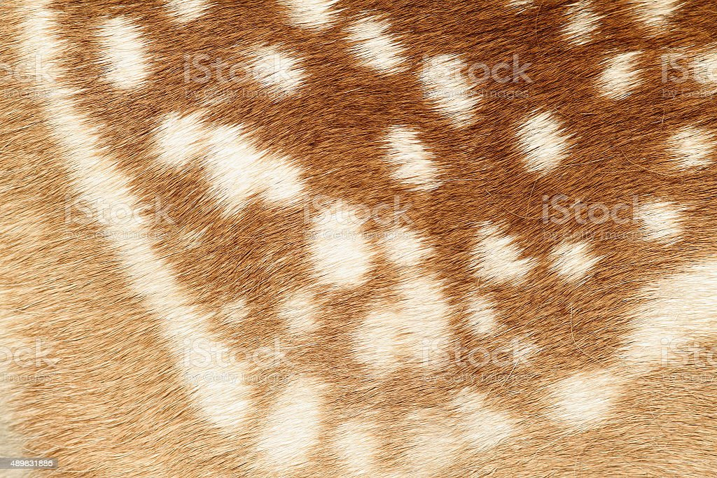 pattern of real fallow deer spotted fur stock photo