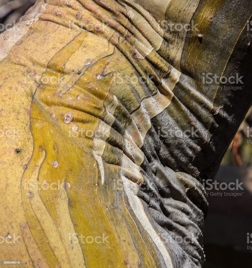 Pattern of Snow gum bark stock photo