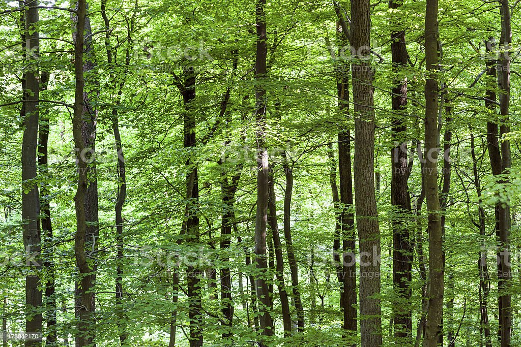 pattern of trees in forest royalty-free stock photo