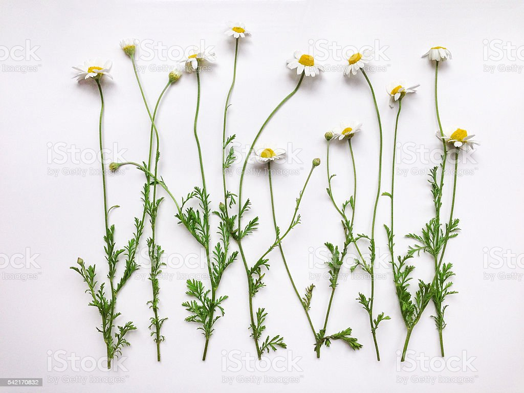 Pattern with chamomile flowers on white background stock photo