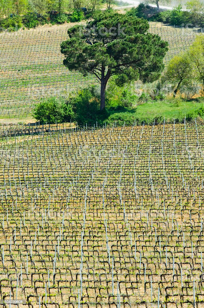 Patterns of a Vineyard in Tuscany stock photo