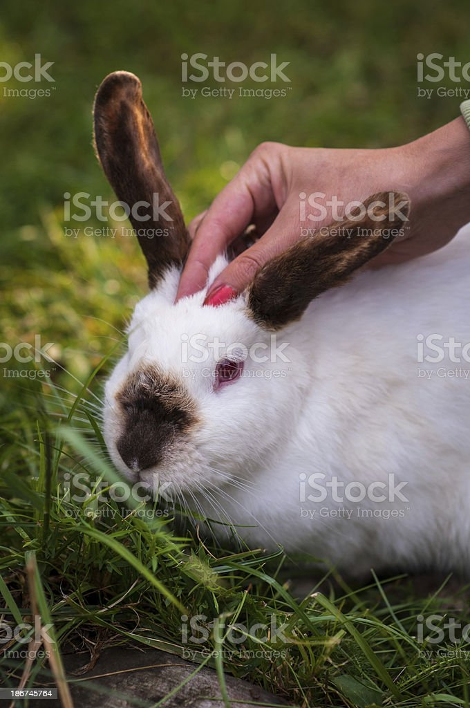 Patting a rabbit royalty-free stock photo