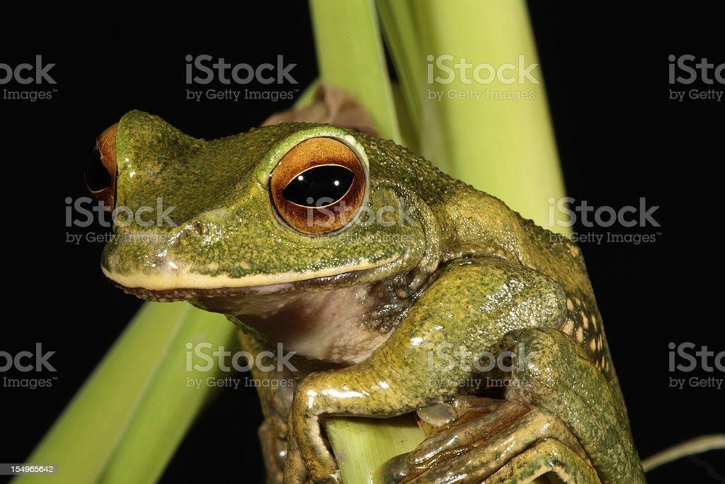 Pauliani's Dagger Frog royalty-free stock photo