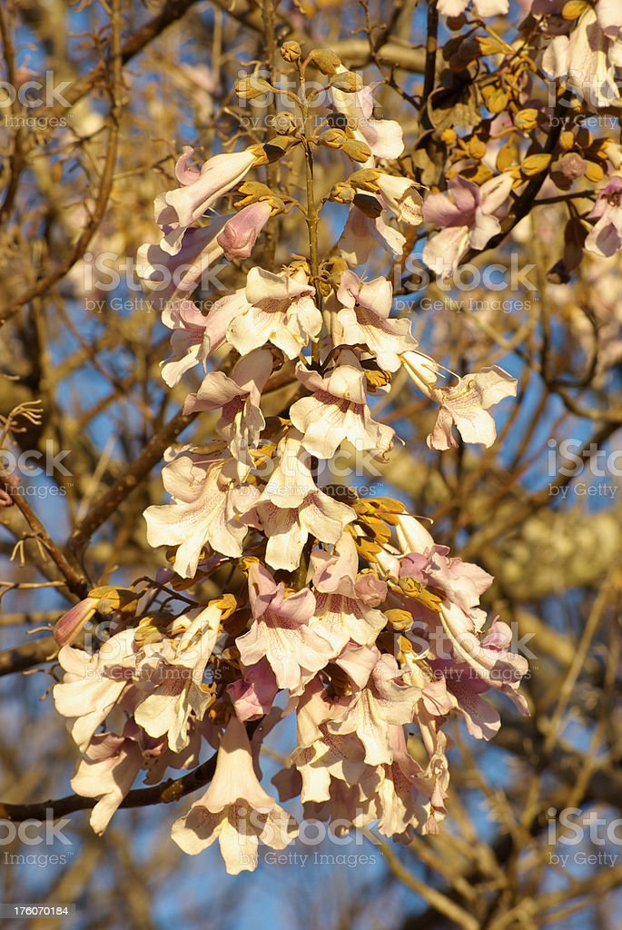 Paulownia Blooms stock photo