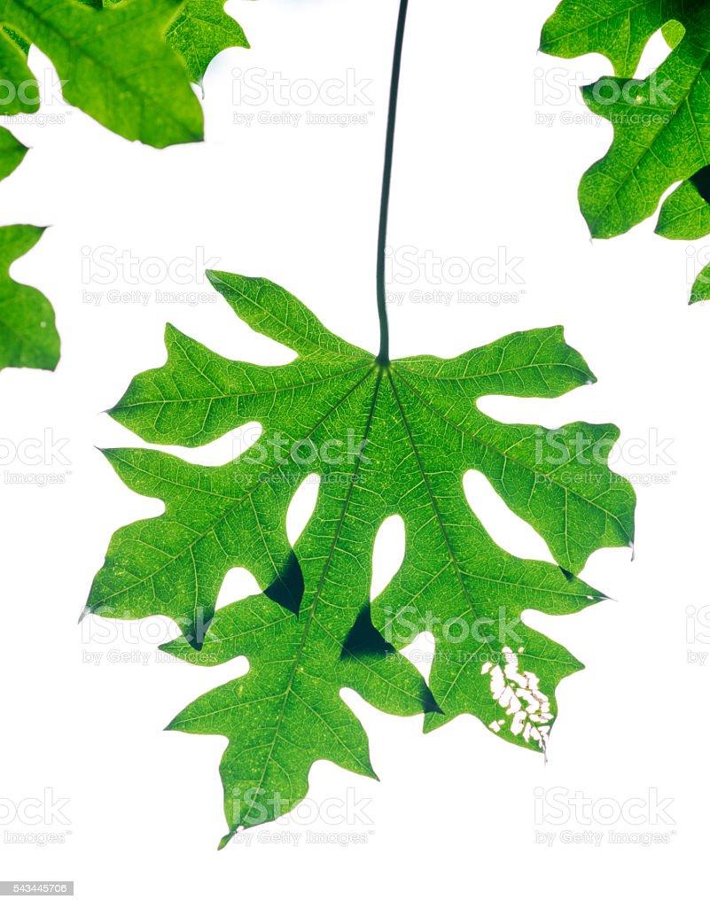 Paulownia tree leaves isolated on white stock photo